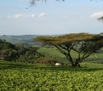 Malawi Tea Plantation